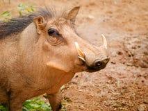 Warzenschwein Stockfotografie