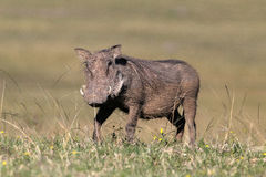 Warzenschwein Lizenzfreie Stockfotografie