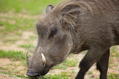Warzenschwein Stockbild