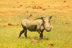 Warzenschwein in Addo N P Stockbild