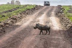 Warzenschwein auf der Straße Lizenzfreies Stockbild