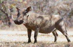 Warzenschwein auf trockenem Gras in Kruger-Park Lizenzfreies Stockfoto