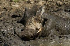 Warzenschwein, das ein mudbath - Kruger Nationalpark nimmt Stockfoto