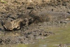 Warzenschwein, das ein mudbath - Kruger Nationalpark nimmt Lizenzfreies Stockbild