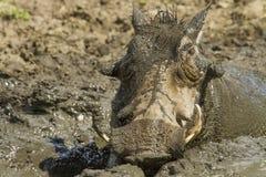 Warzenschwein, das ein mudbath - Kruger Nationalpark nimmt Stockfotografie