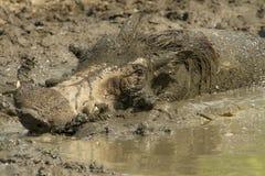 Warzenschwein, das ein mudbath - Kruger Nationalpark nimmt Lizenzfreies Stockfoto