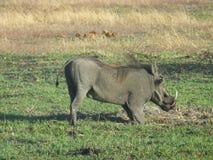 Warzenschwein, das für Lebensmittel Südafrika gräbt stockfotografie