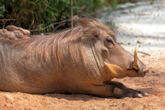 Warzenschwein, das im Sun sich aalt Lizenzfreies Stockbild