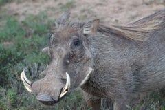 Warzenschwein in der Sonne Lizenzfreie Stockfotografie