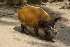 Warzenschwein, ¡ Dvůr Krà lové, Europa Stockfotografie