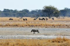 Warzenschwein, Gnus und Zebras, Khama-Nashorn-Schongebiet, Botswana lizenzfreie stockbilder