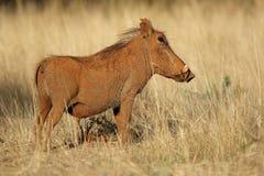 Warzenschwein im natürlichen Lebensraum - Südafrika Lizenzfreie Stockfotos