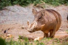 Warzenschwein im Schlamm Lizenzfreies Stockbild