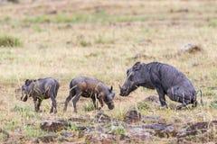 Warzenschwein mit Jungen eine Stockfoto