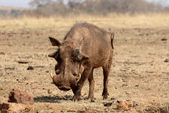Warzenschwein, Phacochoerus aethiopicus Stockfoto