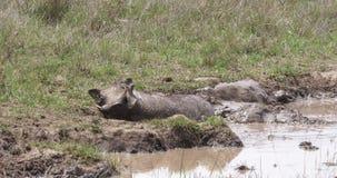 Warzenschwein, Phacochoerus aethiopicus, Erwachsener, der Schlamm-Bad hat, Nairobi-Park in Kenia, stock video footage