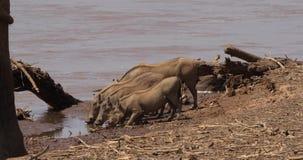 Warzenschwein, Phacochoerus aethiopicus, Erwachsener und Junge, die in Fluss trinken, Samburu-Park in Kenia, stock video