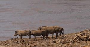 Warzenschwein, Phacochoerus aethiopicus, Erwachsener und Junge nahe dem Fluss, Samburu-Park in Kenia, r stock video
