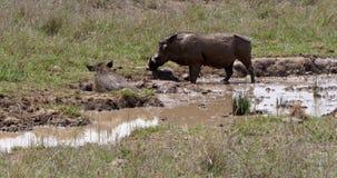 Warzenschwein, Phacochoerus aethiopicus, Paar, das Schlamm-Bad hat, Nairobi-Park in Kenia, stock video footage