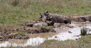 Warzenschwein, Phacochoerus aethiopicus, Paar, das Schlamm-Bad hat, Nairobi-Park in Kenia, stock video