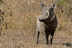 Warzenschwein (Phacochoerus africanus) lizenzfreies stockbild