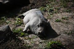Warzenschwein-Stillstehen Stockbild