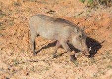 Warzenschwein sucht nach Lebensmittel bei Addo Elephant Park Stockfoto
