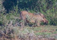 Warzenschwein sucht nach Lebensmittel bei Addo Elephant Park Lizenzfreies Stockfoto