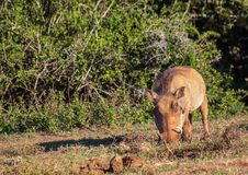 Warzenschwein sucht nach Lebensmittel bei Addo Elephant Park Stockbilder