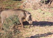 Warzenschwein sucht nach Lebensmittel bei Addo Elephant Park Stockfotografie