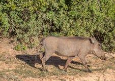 Warzenschwein sucht nach Lebensmittel bei Addo Elephant Park Lizenzfreie Stockfotografie