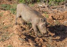 Warzenschwein sucht nach Lebensmittel bei Addo Elephant Park Lizenzfreies Stockbild