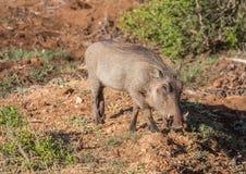 Warzenschwein sucht nach Lebensmittel bei Addo Elephant Park Lizenzfreie Stockfotos