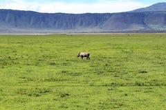 Warzenschwein in Tansania stockfotografie