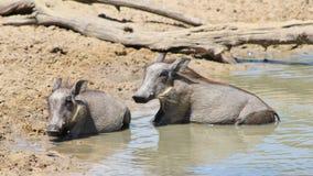 Warzenschwein - Tierbabys (Ferkel) am Pool Stockfoto