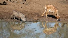 Warzenschwein- und Nyalaantilopentrinken Stockfotografie