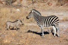 Warzenschwein und Zebra Lizenzfreie Stockfotografie