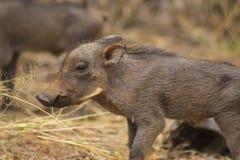 Warzenschweinbabys, die herum gehen Lizenzfreies Stockfoto