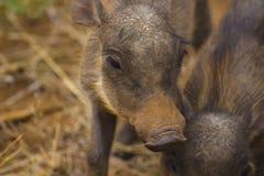 Warzenschweinbabys, die herum gehen Stockbild
