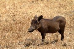 Warzenschweine in der Serengeti-Savanne lizenzfreies stockfoto