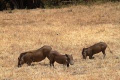 Warzenschweine in der Serengeti-Savanne stockfotografie