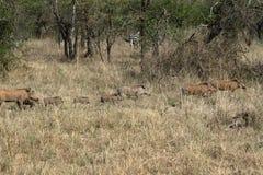 Warzenschweine in der Serengeti-Savanne lizenzfreie stockbilder