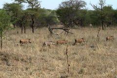 Warzenschweine in der Serengeti-Savanne lizenzfreie stockfotos