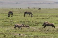 Warzenschweine und Zebras auf Gras stockfoto
