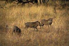Warzenschweine, wildes Mitglied der Schweinfamilie, im Nationalpark Kruger, Südafrika Lizenzfreie Stockbilder