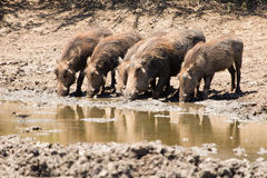Warzenschweingruppe stockfoto