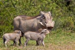 Warzenschweinmutter und -junge Stockfotografie