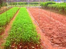 Warzywa gospodarstwo rolne - Singapur Zdjęcie Stock