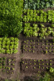 Warzywo ogród Obrazy Royalty Free