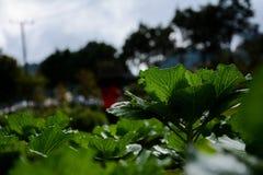 Warzywo przy Ang Khand Fotografia Stock